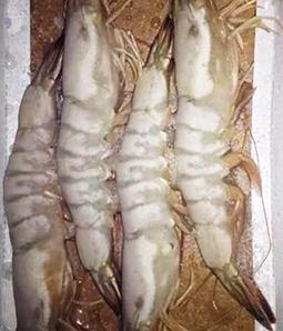石河子南美白虾